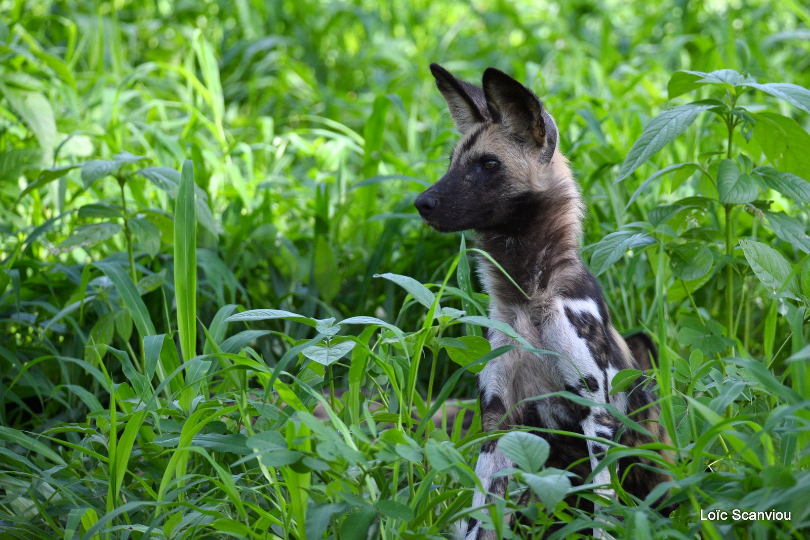 Lycaon/African Wild Dog (1)