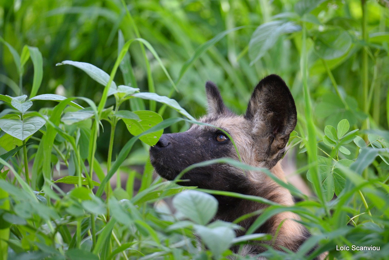 Lycaon/African Wild Dog (2)