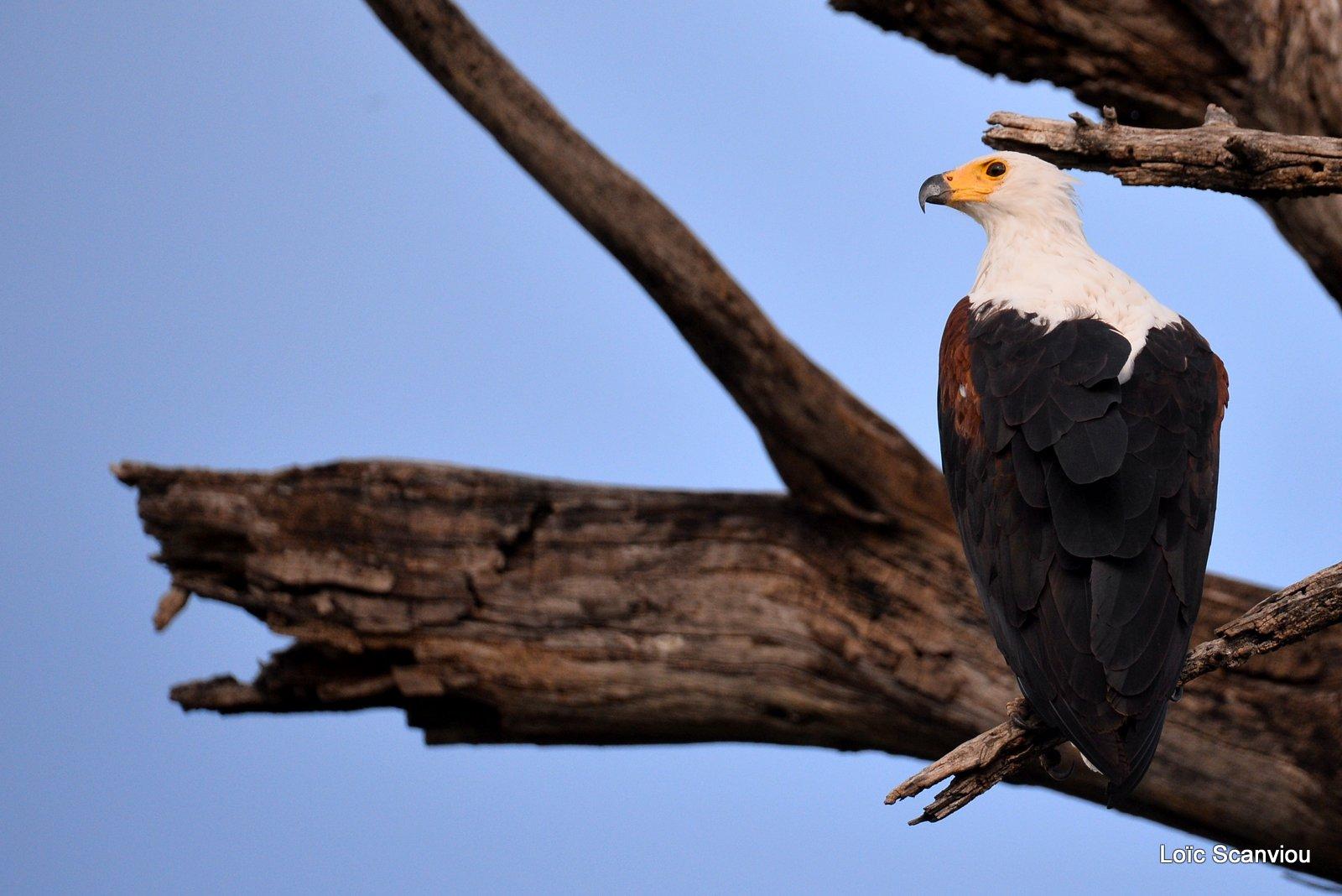 Pygargue vocifère/African fish Eagle (1)