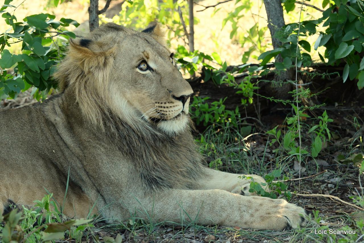 Lion walk (1)