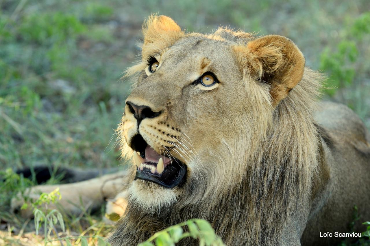 Lion walk (3)