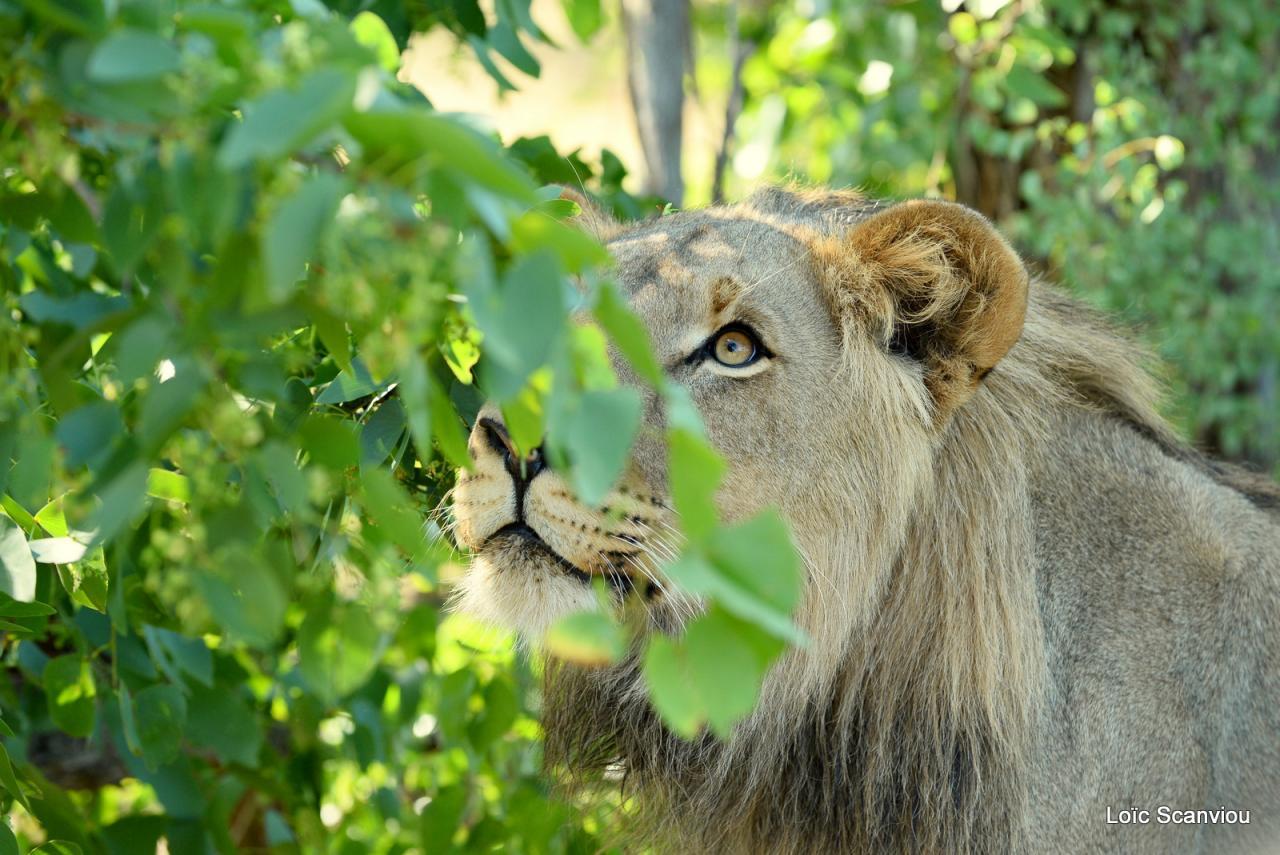 Lion walk (4)