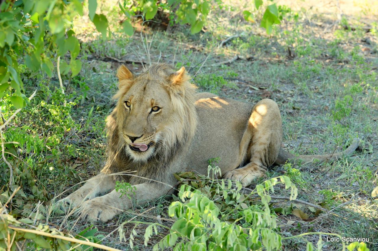 Lion walk (5)