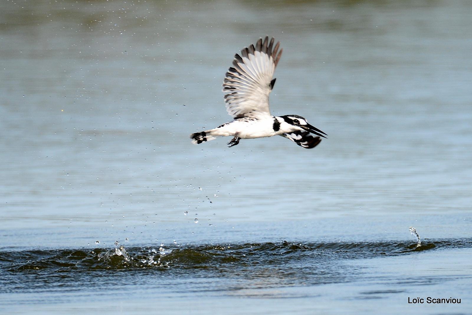 Martin-pêcheur pie/Pied Kingfisher (2)