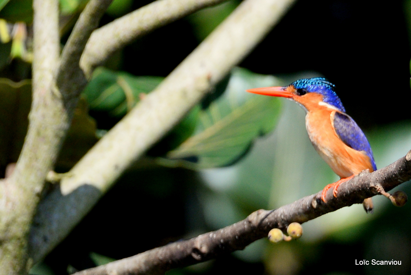 Martin-pêcheur huppé/Malachite Kingfisher (3)