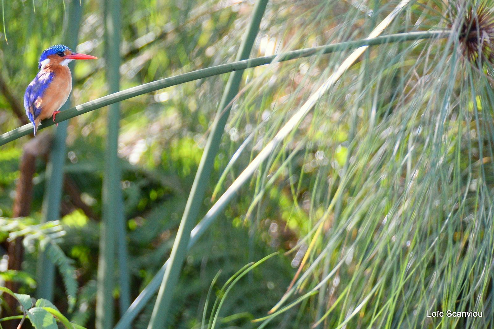 Martin-pêcheur huppé/Malachite Kingfisher (4)