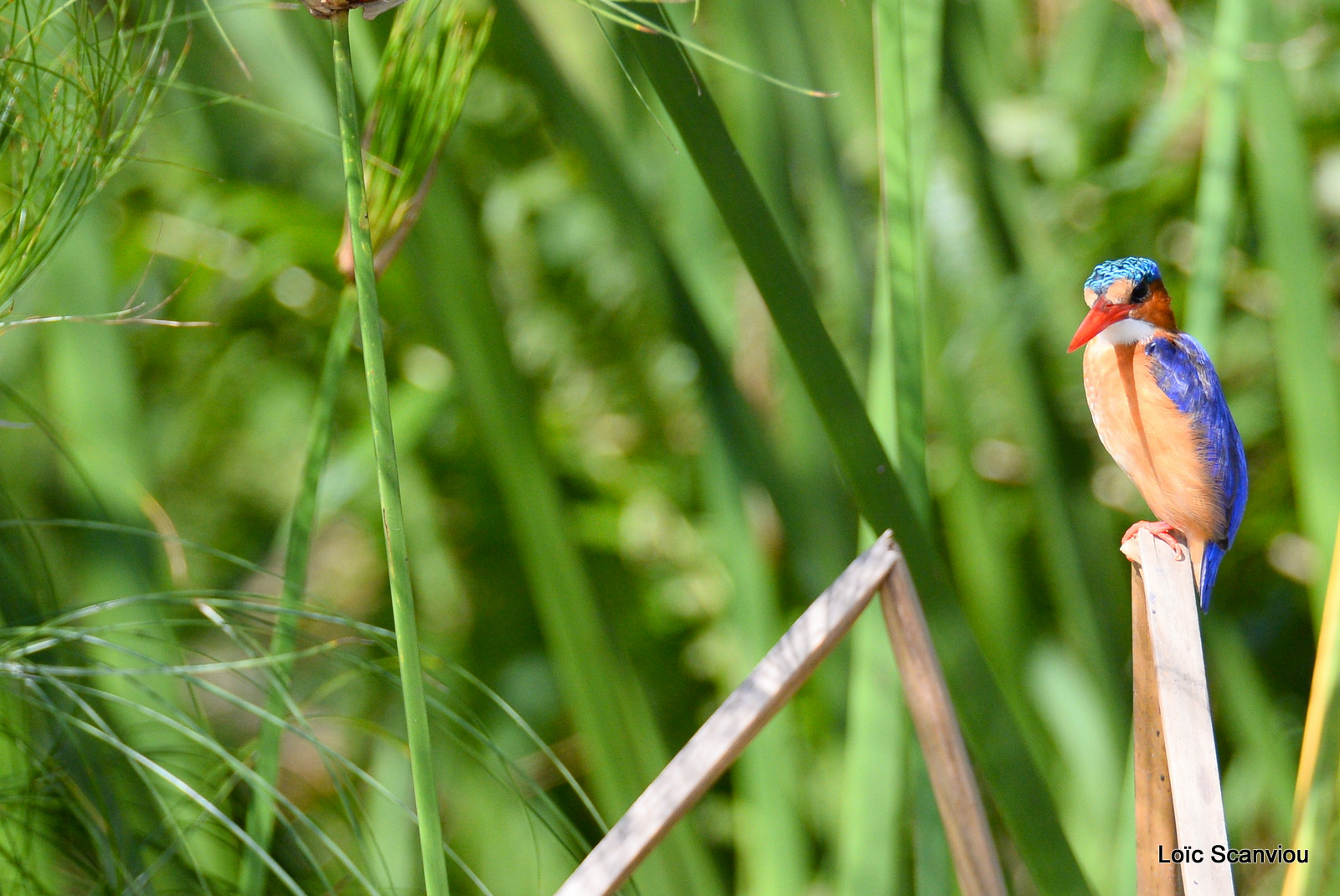Martin-pêcheur huppé/Malachite Kingfisher (5)