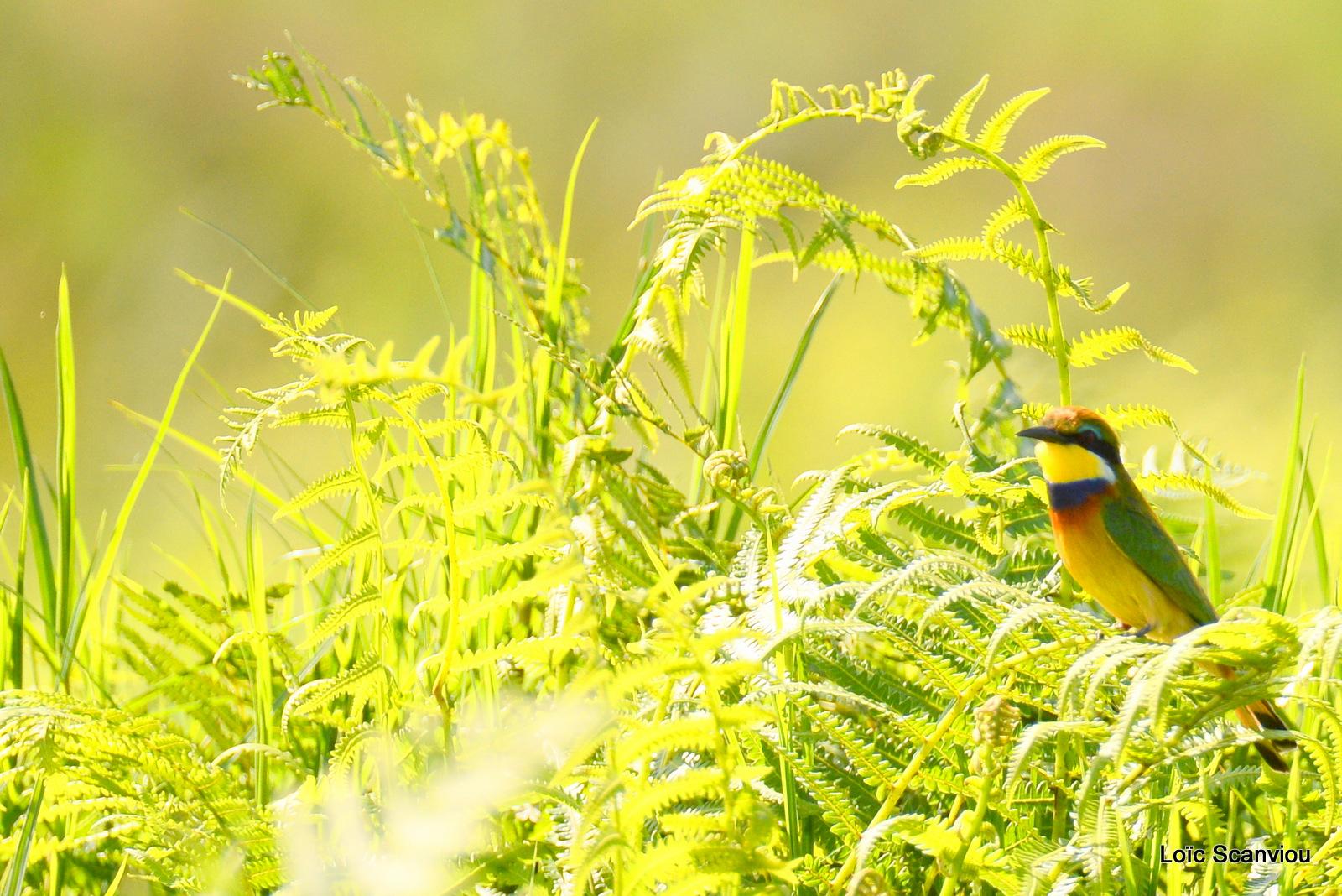 Guêpier à collier bleu/Blue-breasted Bee-eater (1)