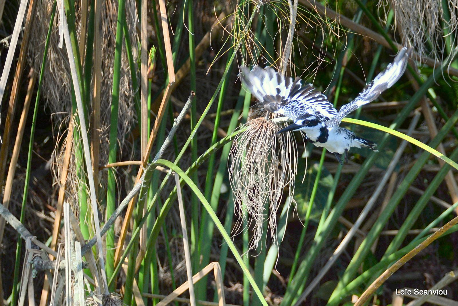 Martin-pêcheur pie/Pied Kingfisher (4)