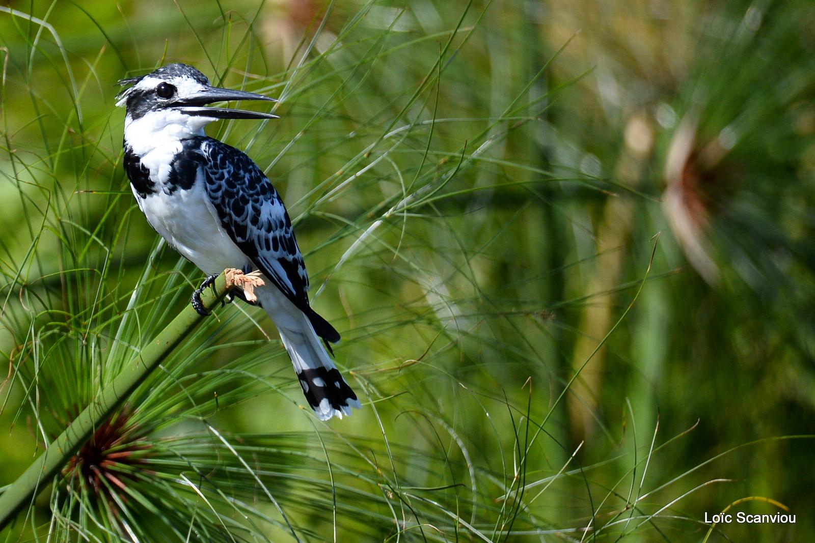 Martin-pêcheur pie/Pied Kingfisher (5)