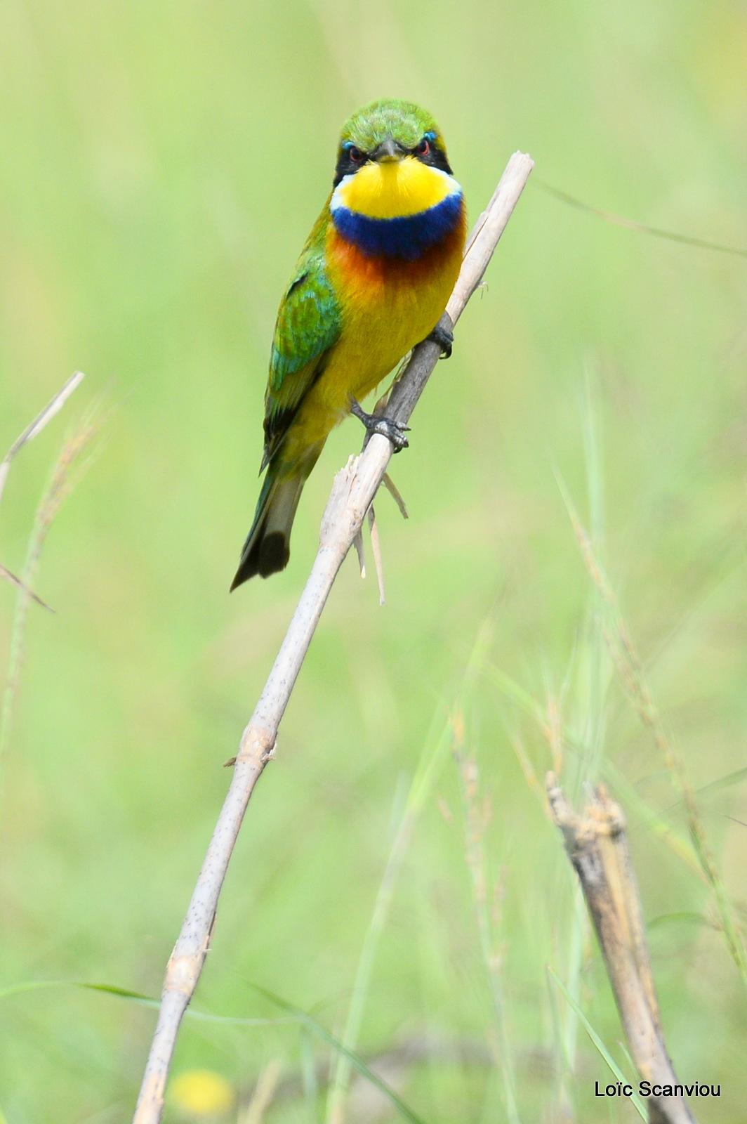 Guêpier à collier bleu/Blue-breasted Bee-eater (3)