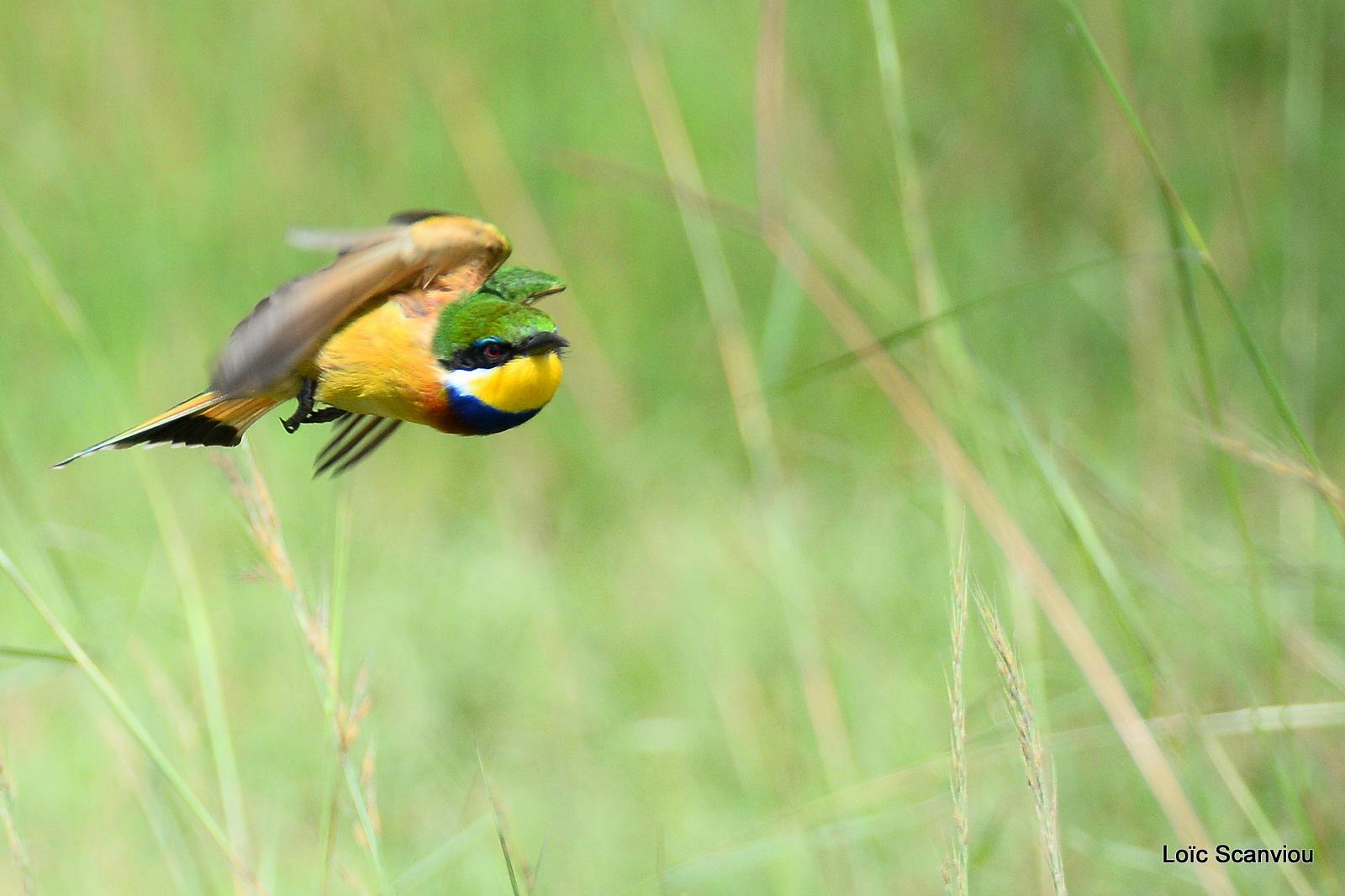 Guêpier à collier bleu/Blue-breasted Bee-eater (5)