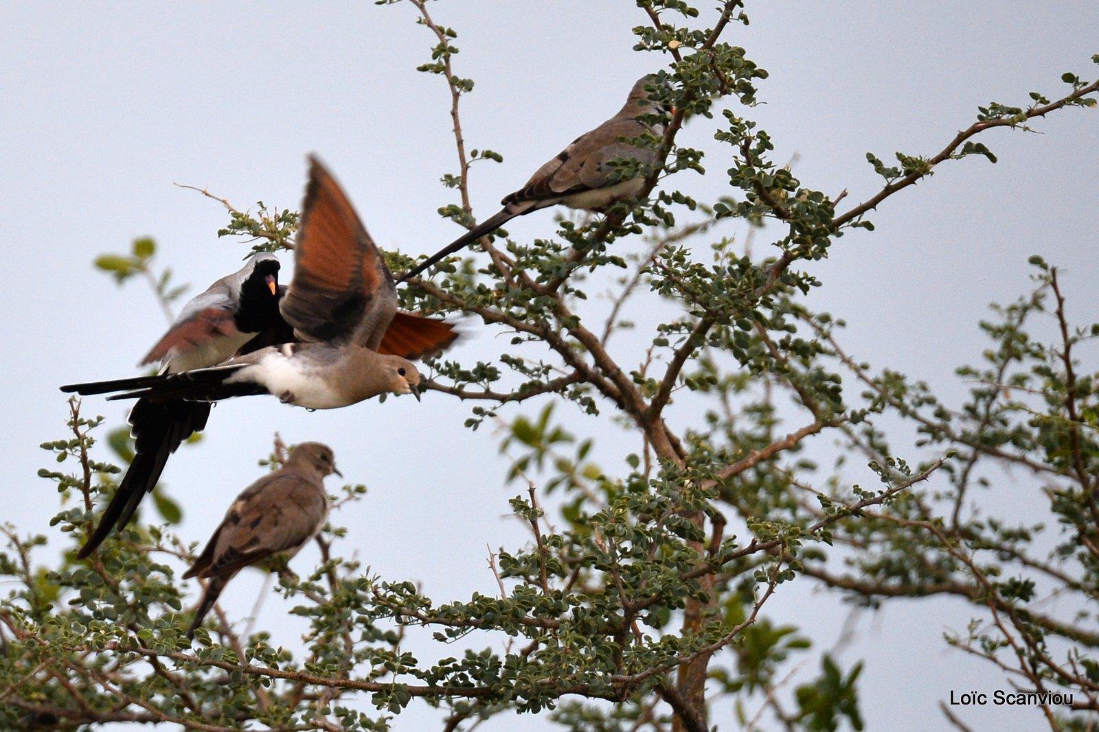 Tourterelle masquée/Namaqua Dove (1)