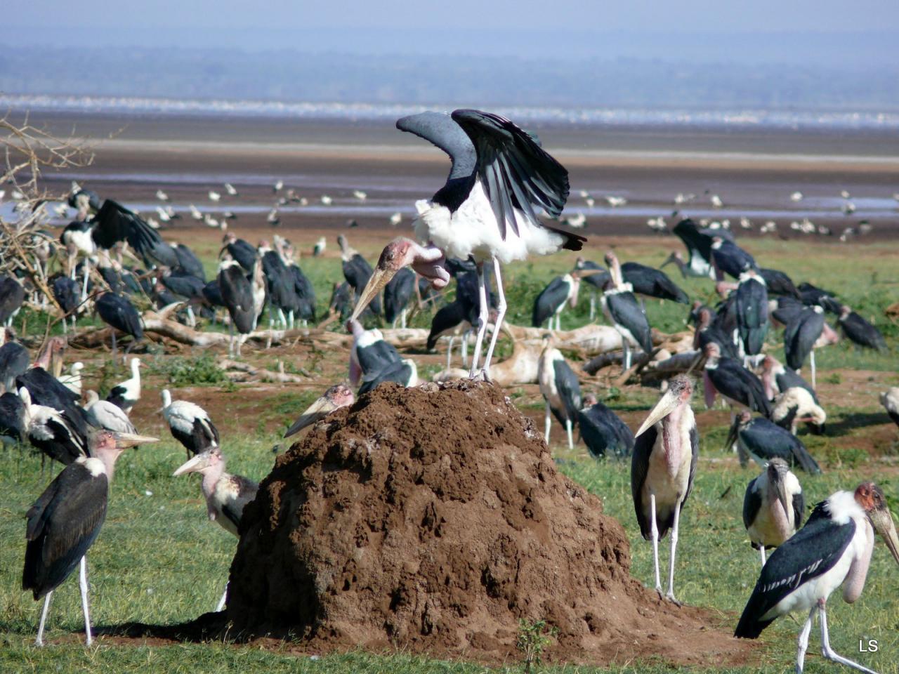 Marabout/Marabou Stork (2)