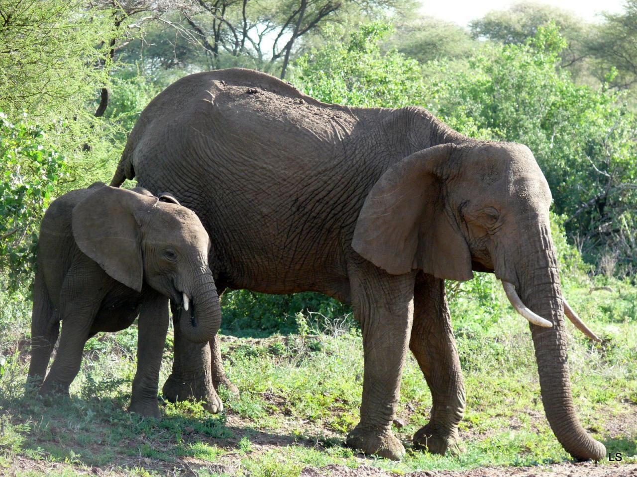 Éléphant d'Afrique/African Savanna Elephant (1)