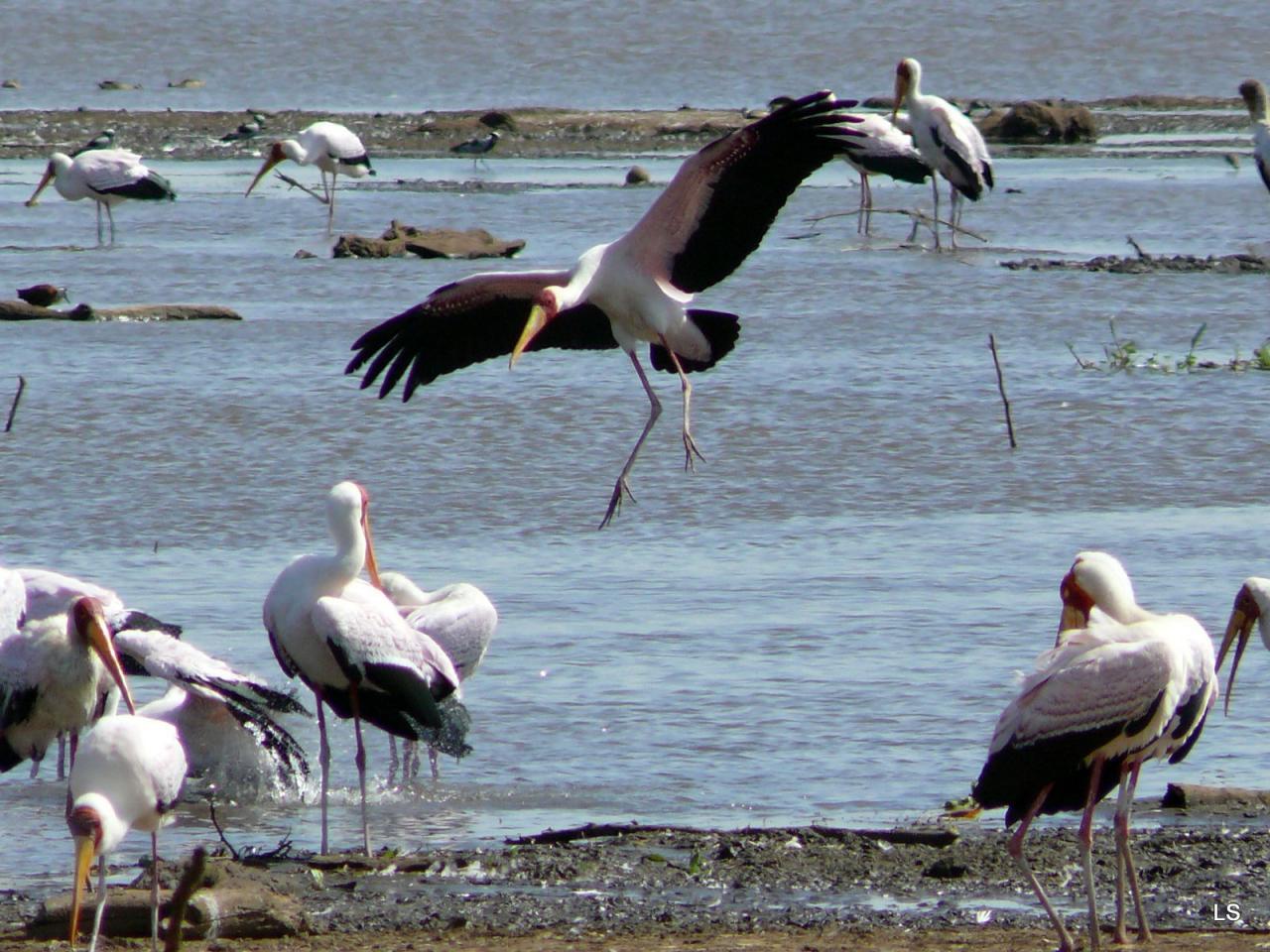 Tantale ibis/Yellow-billed Stork (1)