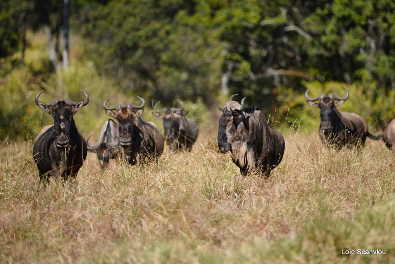 Gnou/Wildebeest (1)