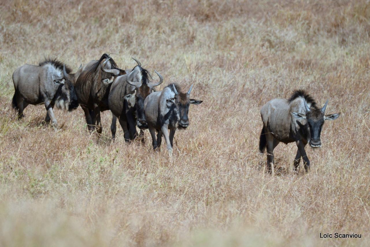 Gnou/Wildebeest (2)
