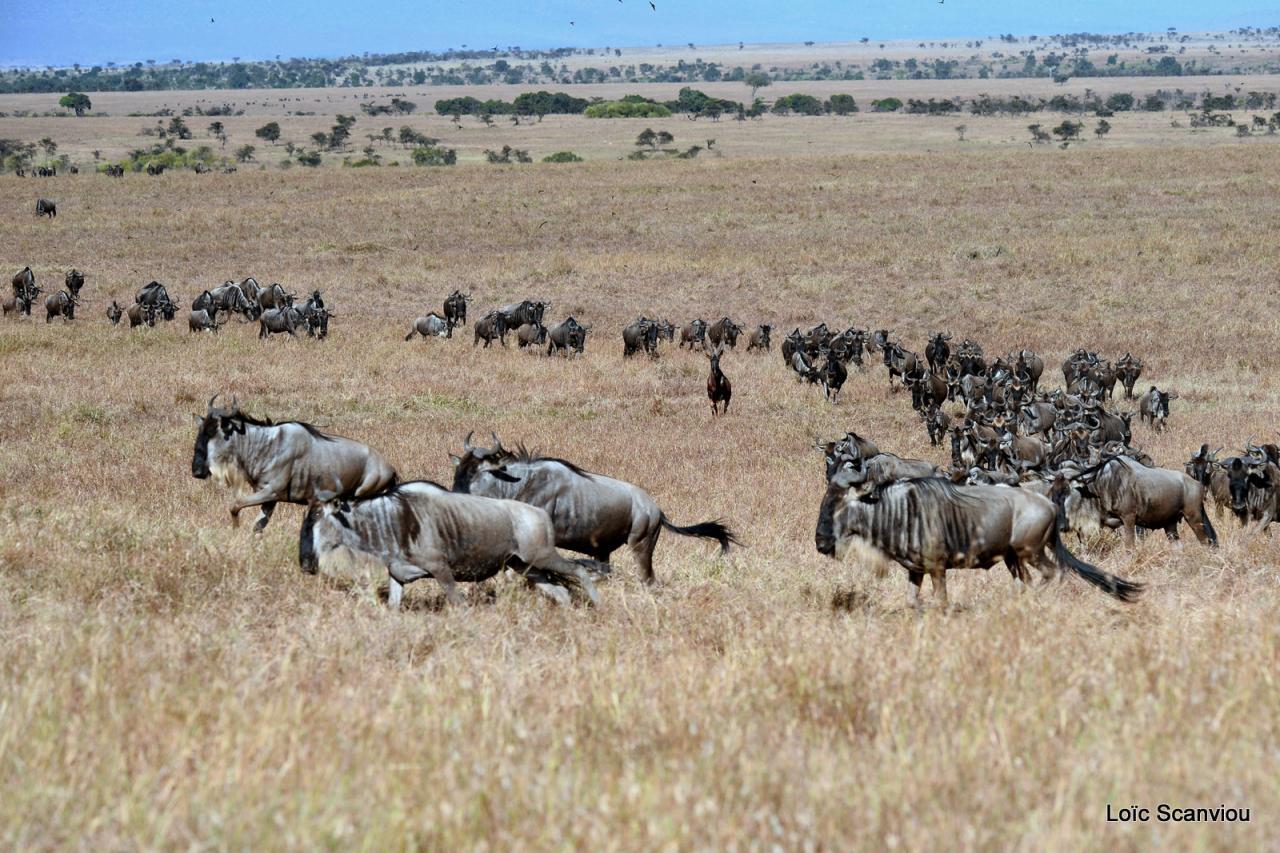 Gnou/Wildebeest (3)