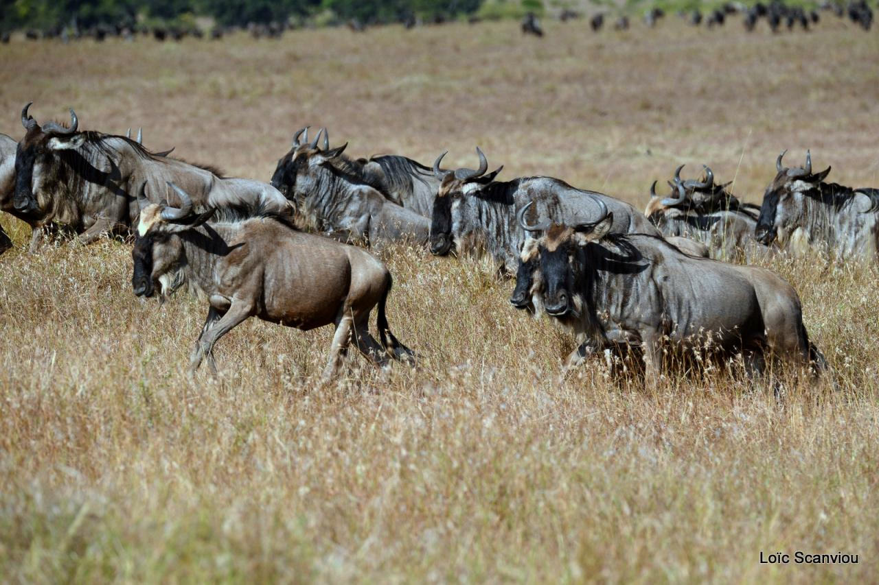 Gnou/Wildebeest (4)
