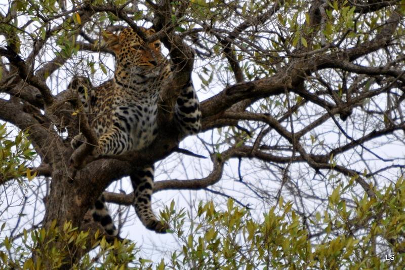 Léopard dans un arbre (2)
