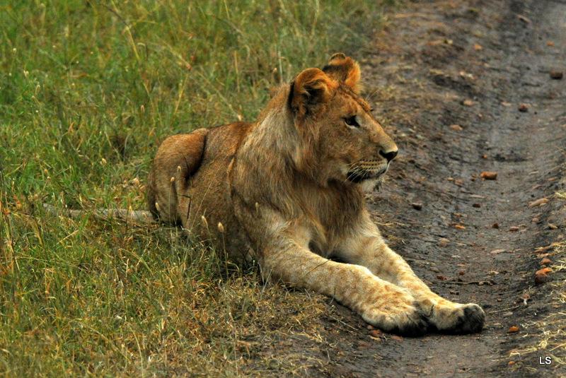 Lion (29)