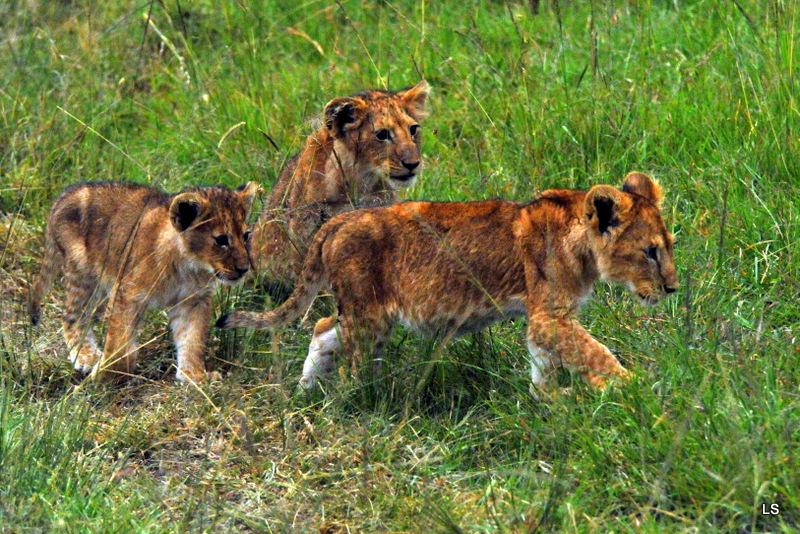 Lion (32)