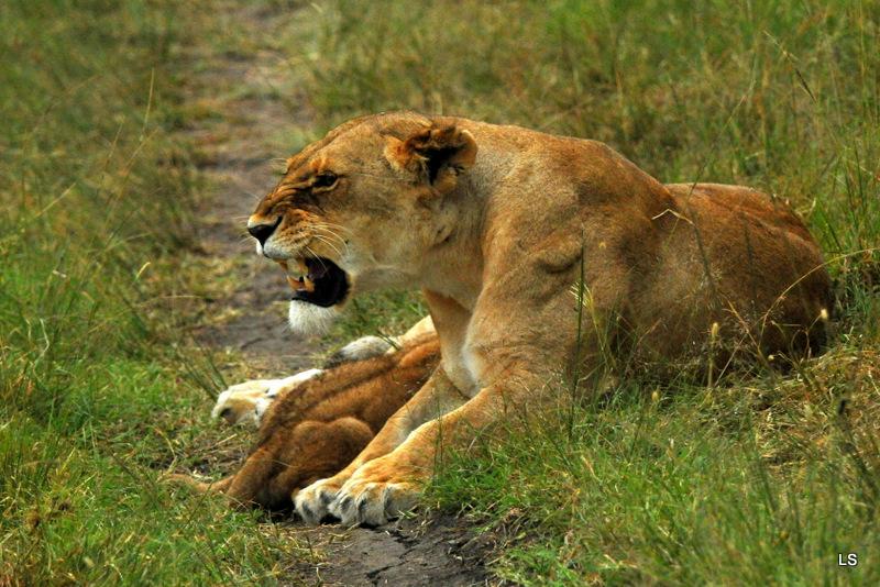 Lion (35)