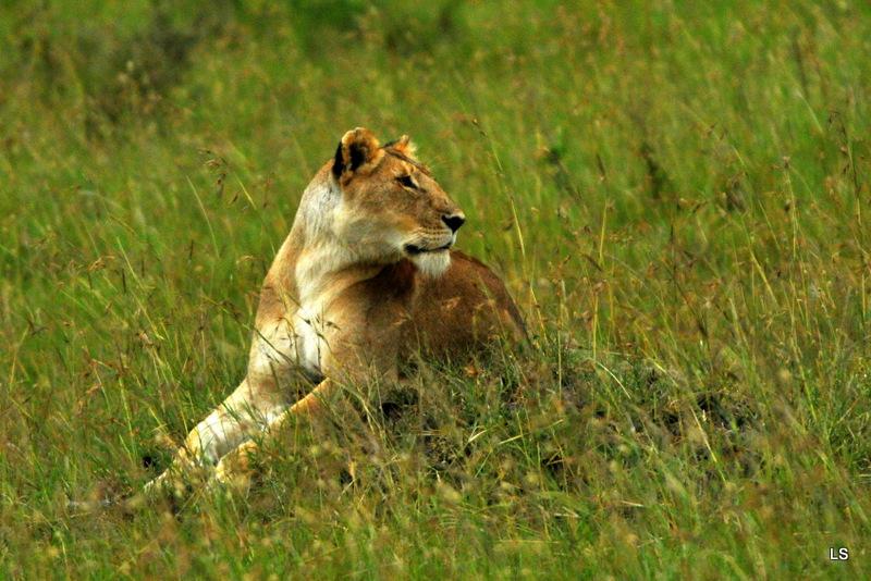 Lion (37)