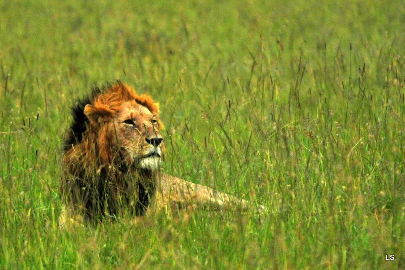Lion (40)