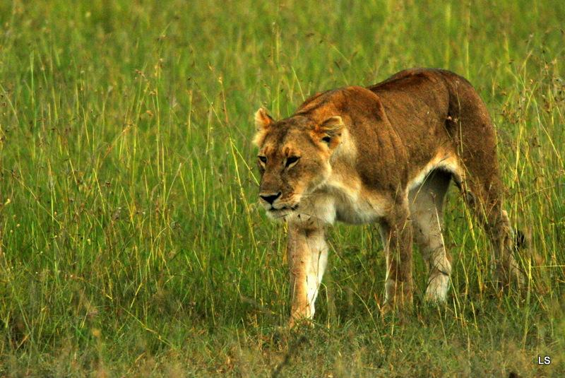 Lion (41)