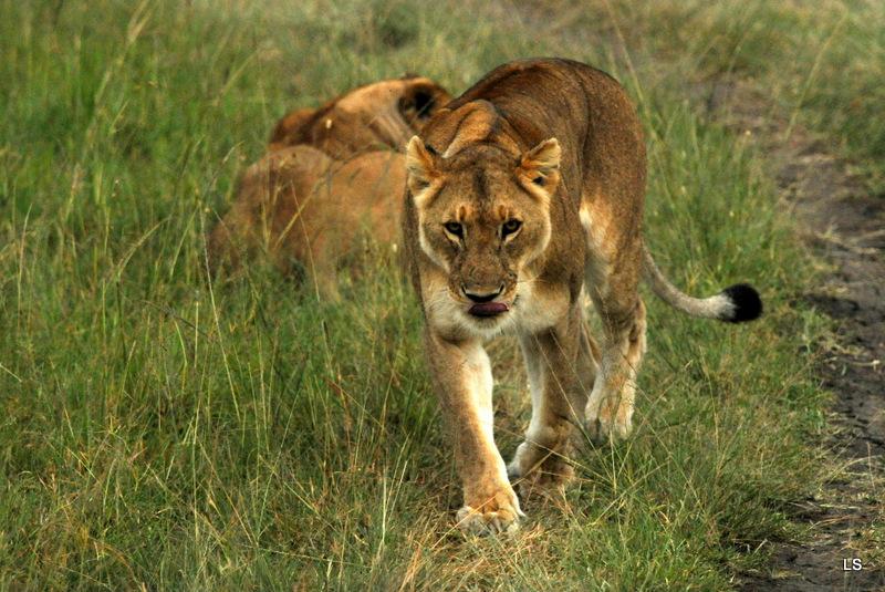 Lion (42)
