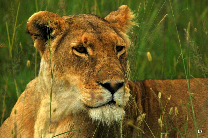 Lion (43)