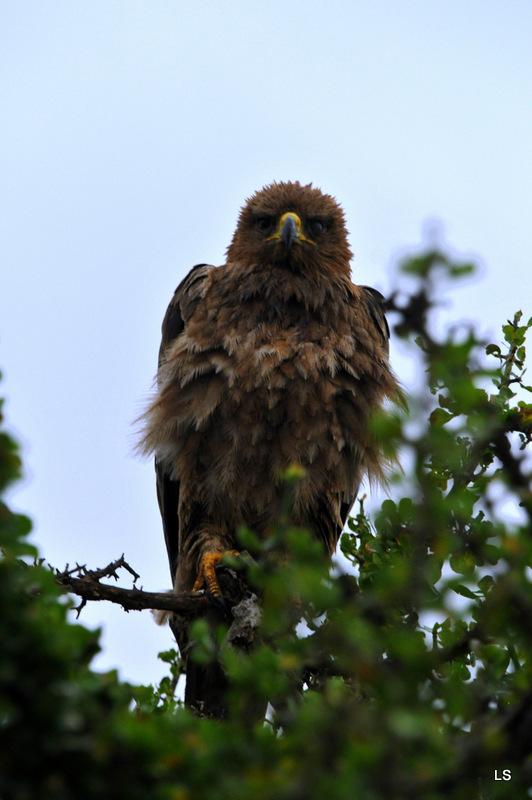 Aigle ravisseur/Tawny eagle (2)