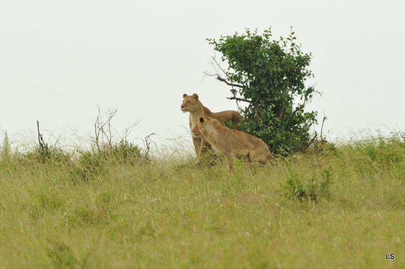 Lion (47)