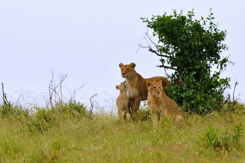 Lion (49)