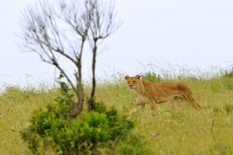 Lion (52)