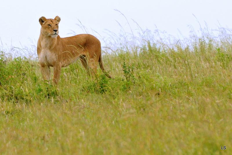 Lion (53)