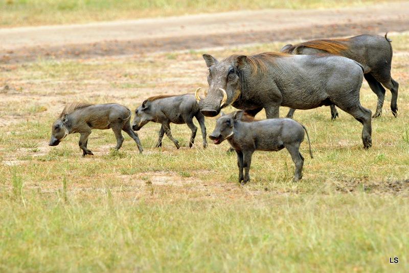 Phacochère/Warthog (1)