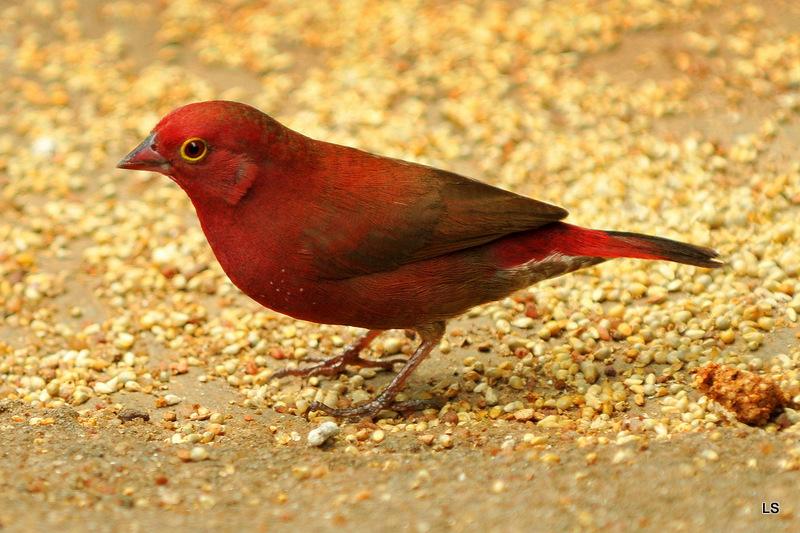 Amarante du Sénégal/Red-billed Firefinch (1)