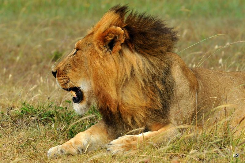 Lion 55)