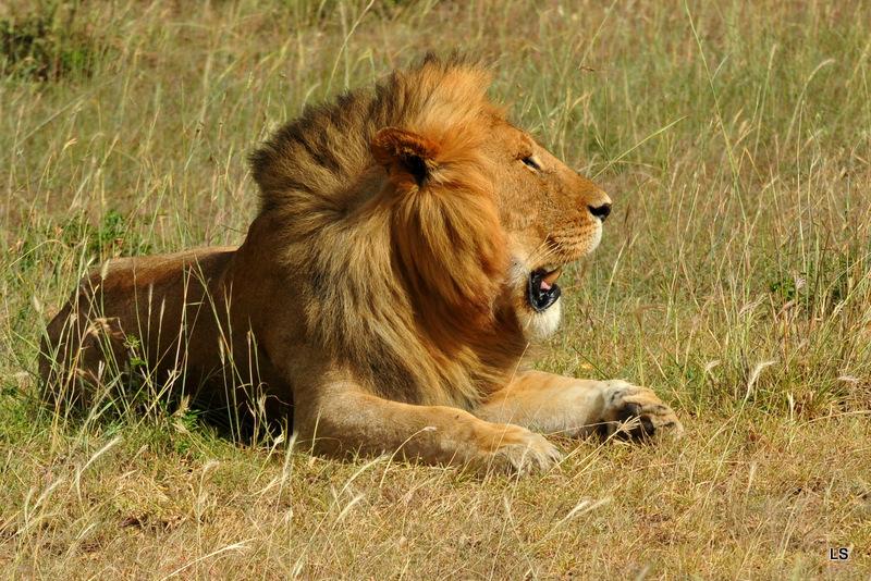 Lion (56)