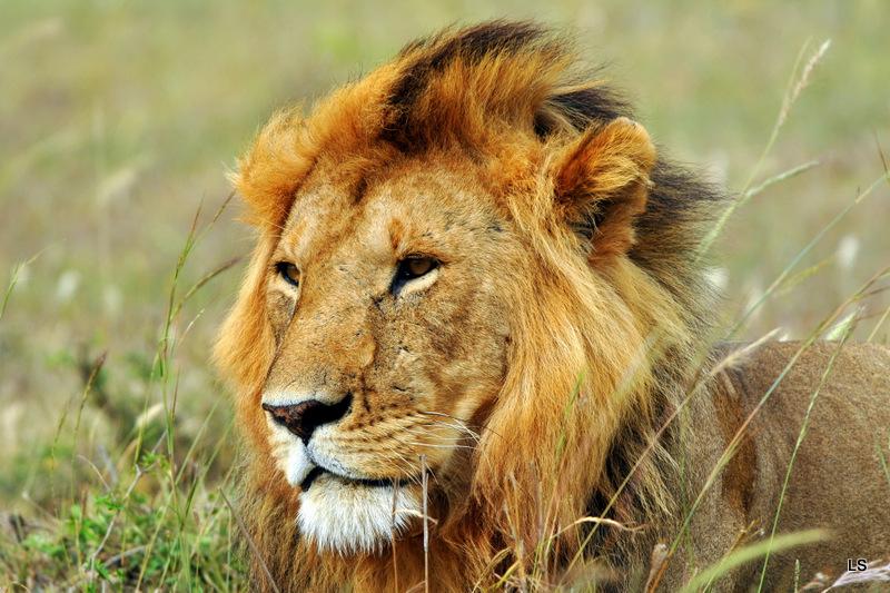 Lion (58)