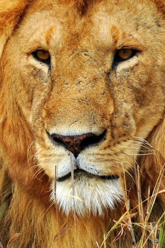 Lion (59)