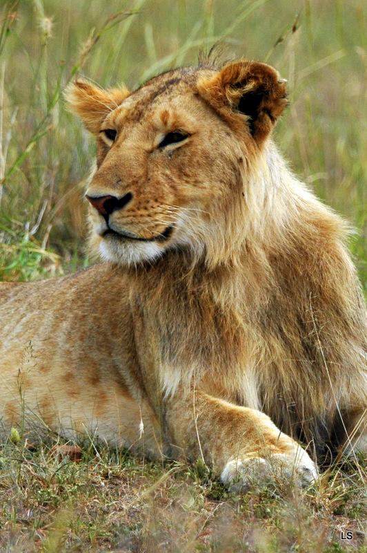 Lion (60)