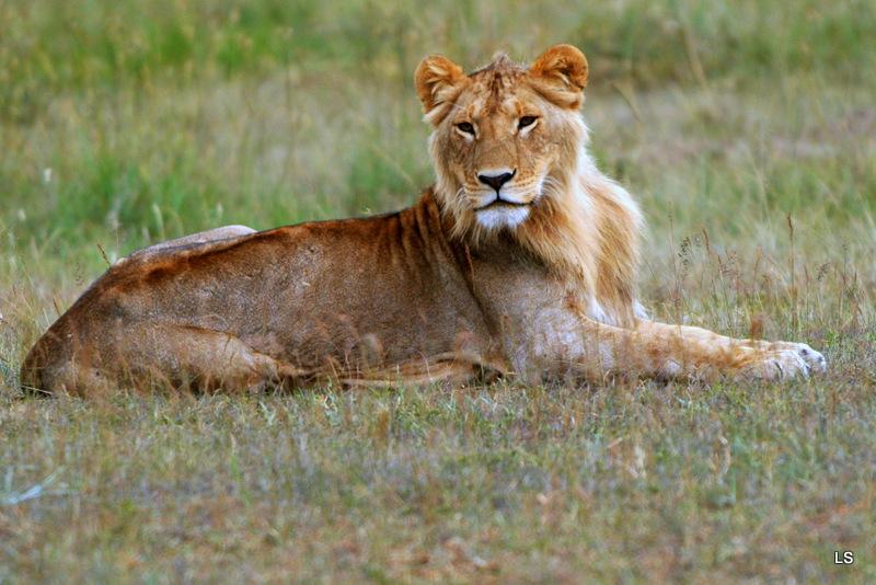 Lion (61)