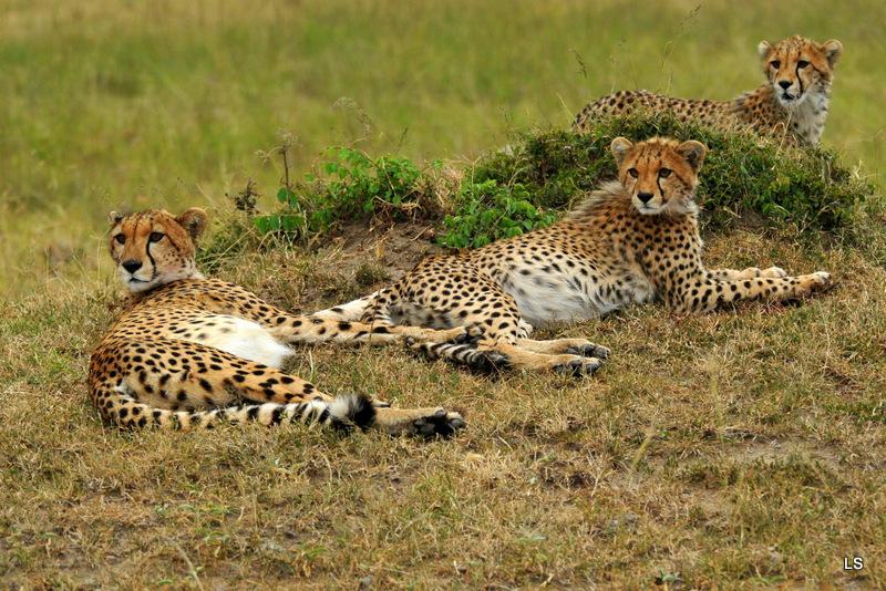 Guépard/Cheetah (4)