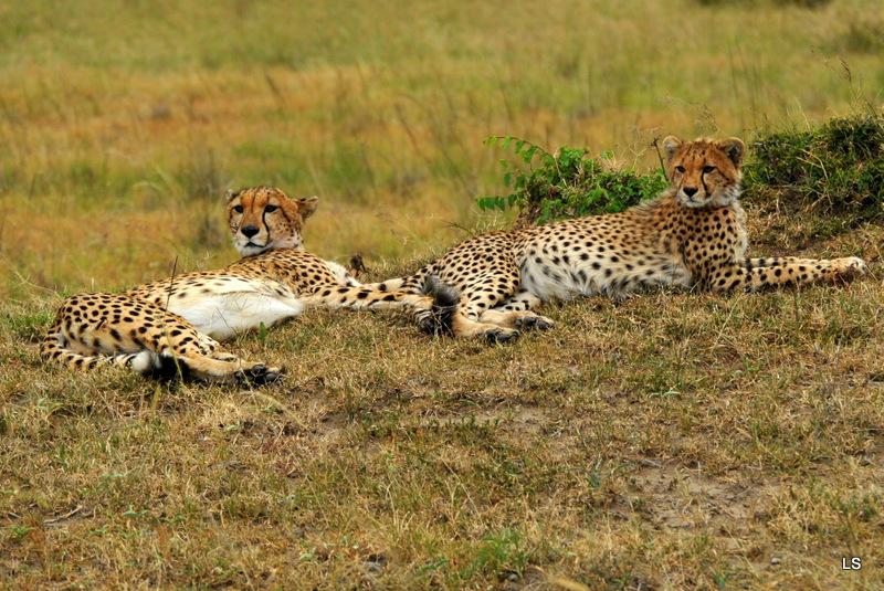 Guépard/Cheetah (6)