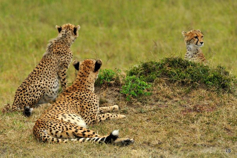 Guépard/Cheetah (7)