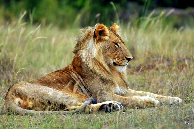 Lion (63)